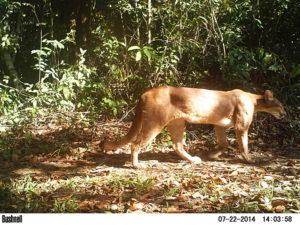 Puma concolor (Foto Richard)
