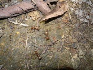 Eciton formiche legionarie (Foto Curletti)
